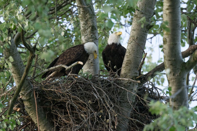 bald-eagle-pair